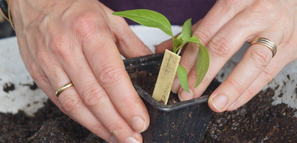 rempotage plant poivron
