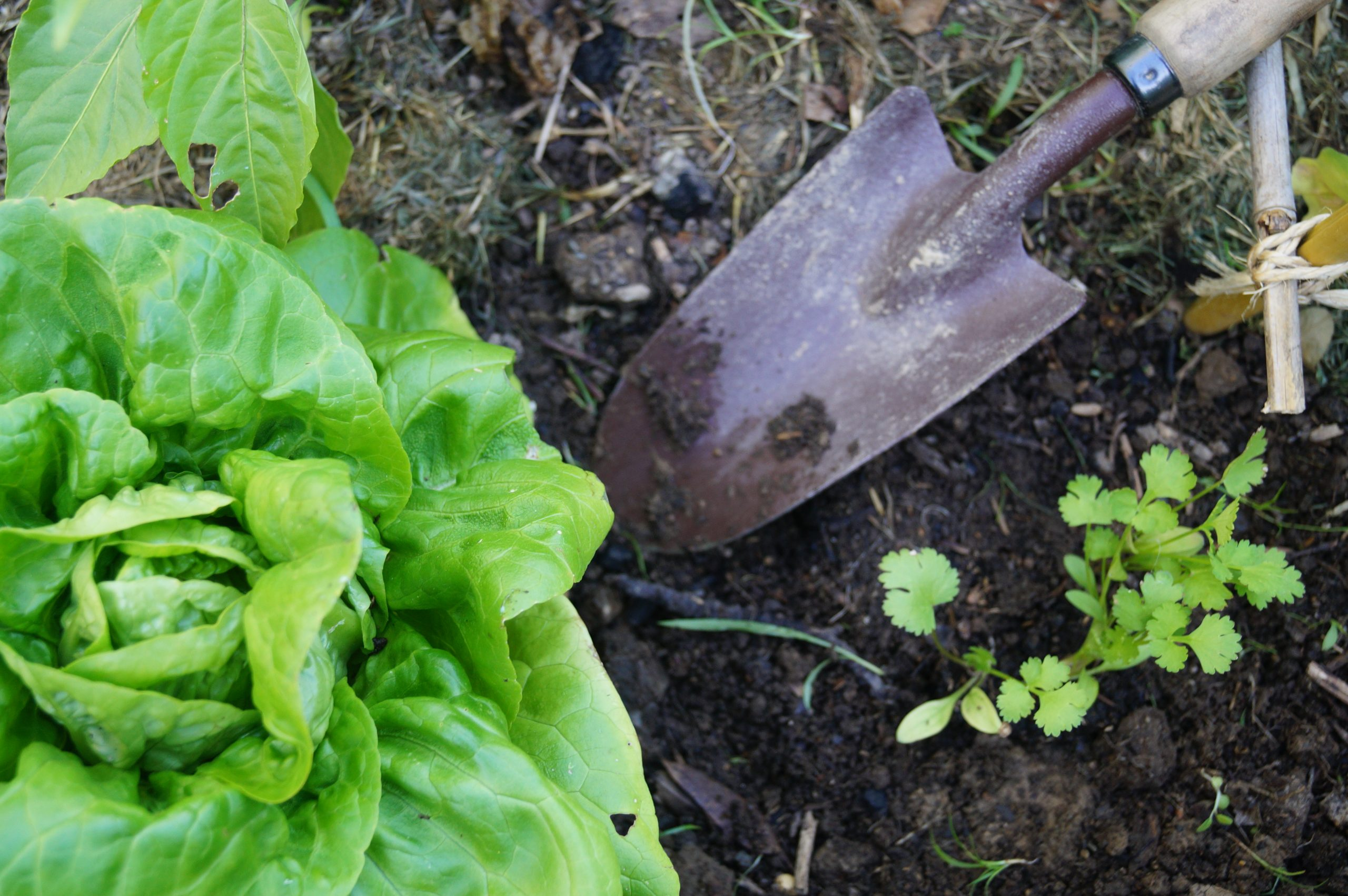 salade et coriandre au jardin