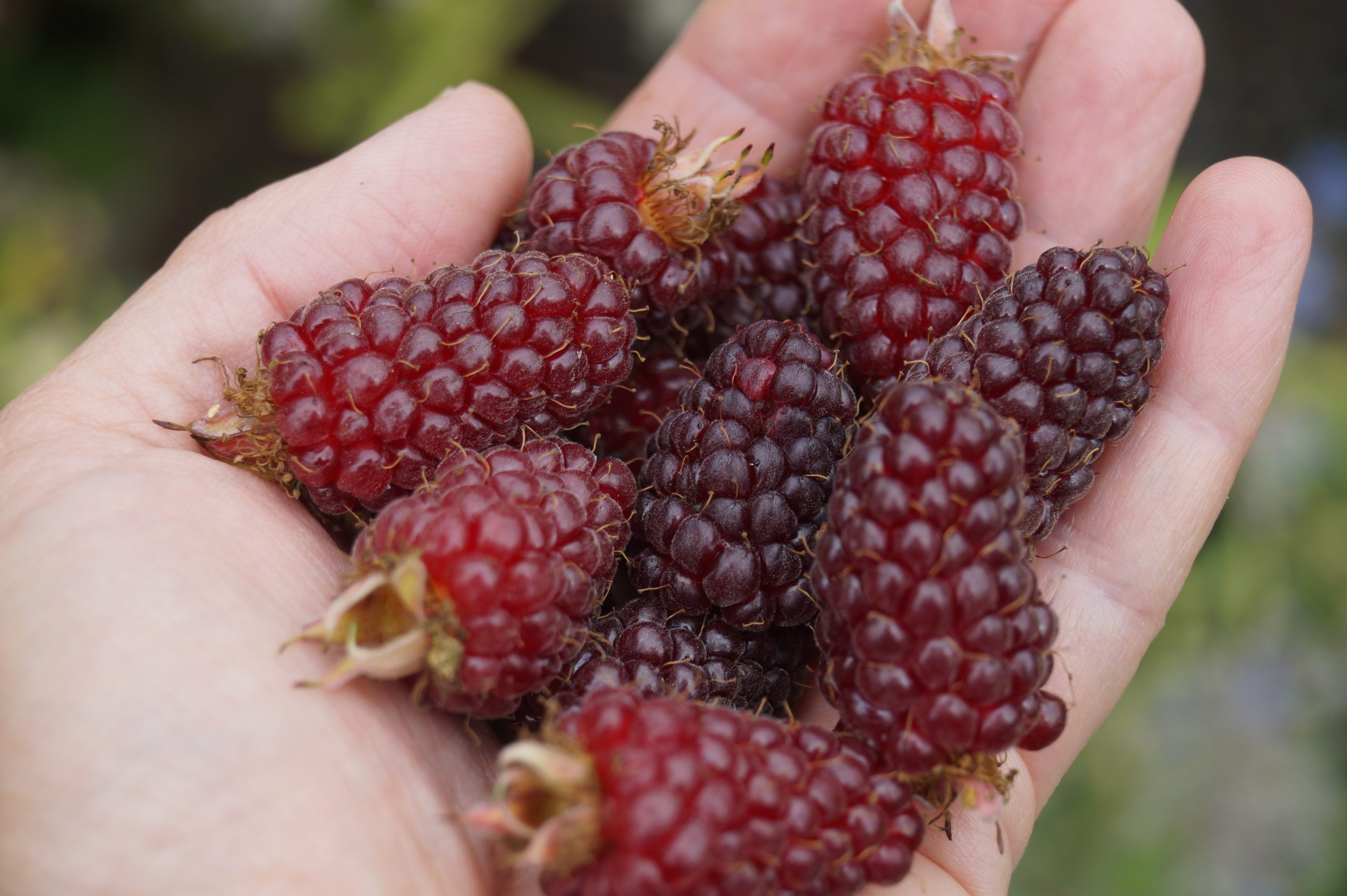 main tenant des tayberries