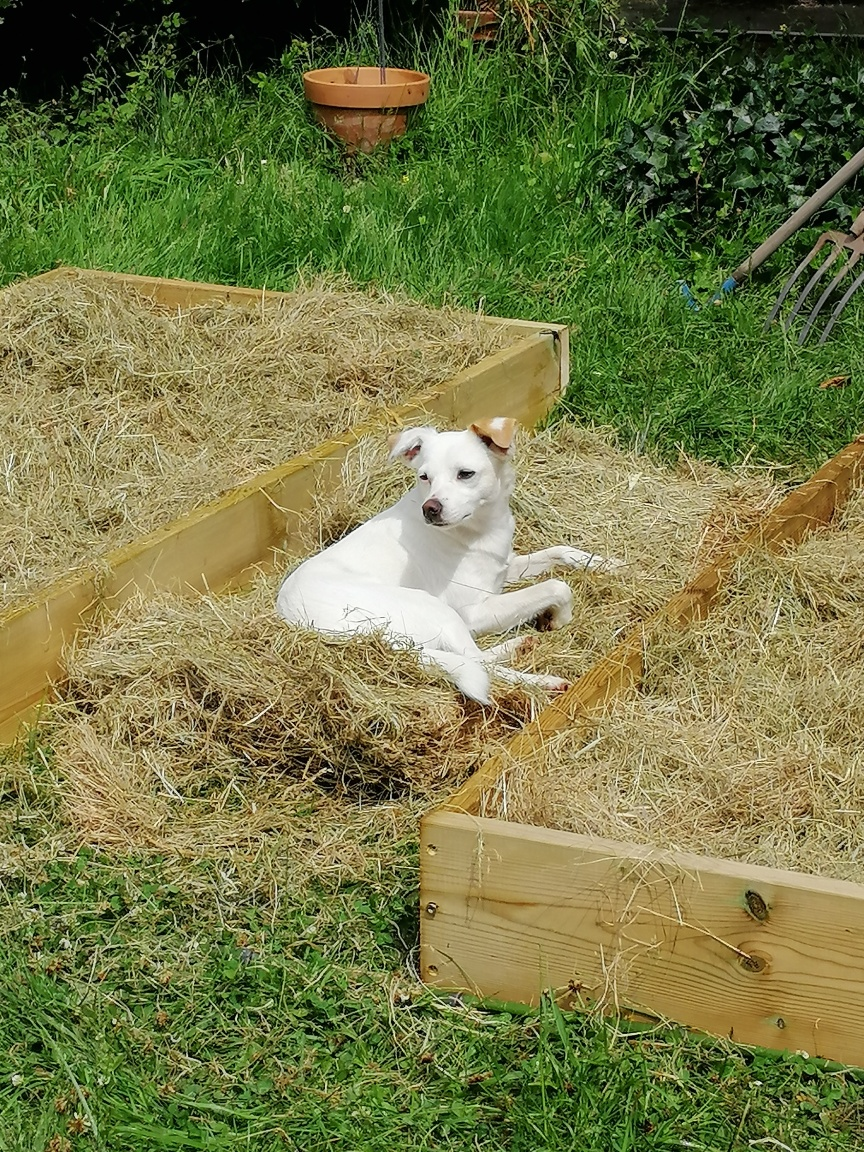 chien couché dans la paille au jardin