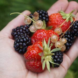 main fruits rouges fraise mure