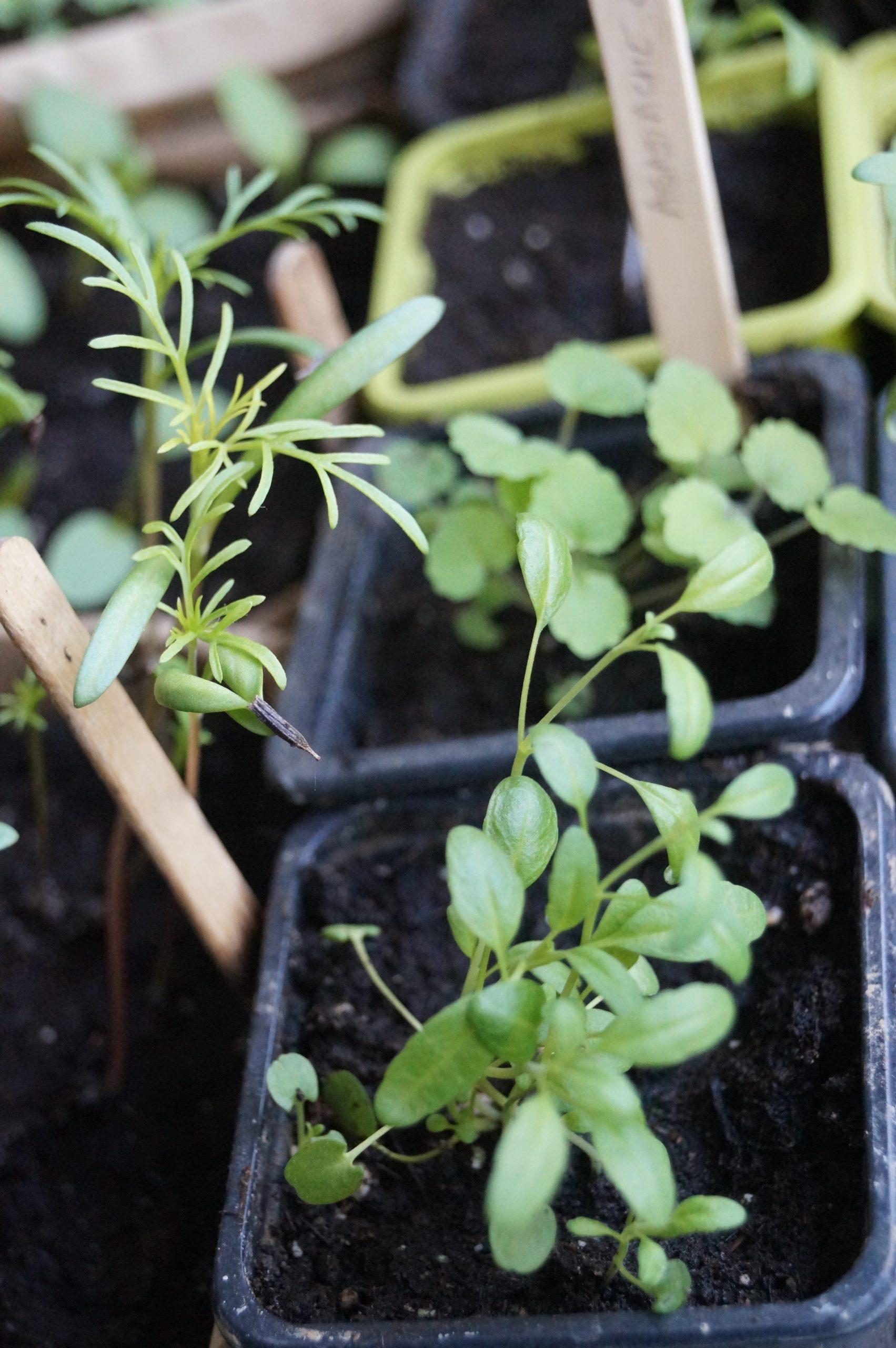 pot avec semis hysope et cosmos